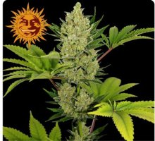 AUTO BLUE CHEESE · graines de cannabis · AutoFem