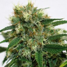 PHATT FRUTTY · graines de cannabis · Fem