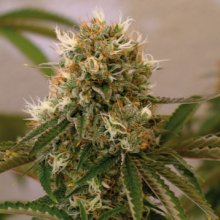 RED CHERRY BERRY · graines de cannabis · Fem