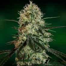 CHRONIC THUNDER · graines de cannabis · Fem