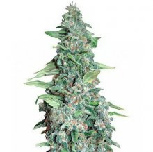 HONEY B · graines de cannabis · Fem