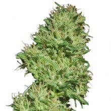 UTOPIA HAZE · graines de cannabis · Fem