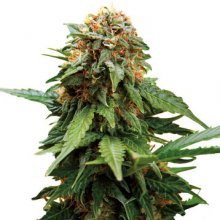 TANGERINE DREAM · graines de cannabis · Fem