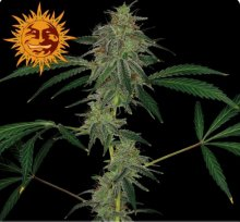 BLUE MAMMOTH AUTO · graines de cannabis · AutoFem