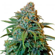LIBERTY HAZE · graines de cannabis · Fem