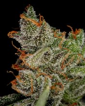 KING'S KUSH · graines de cannabis · Fem