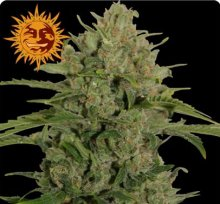 TRIPLE CHEESE · graines de cannabis · Fem
