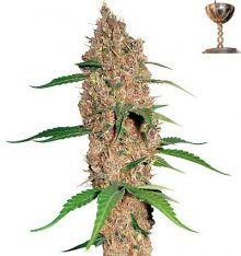 LAUGHING BUDDHA · graines de cannabis · Fem