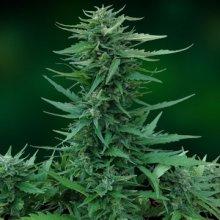 SWEET TOOTH AUTO · graines de cannabis · AutoFem