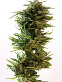 AMNESIA LEMON · graines de cannabis · Fem