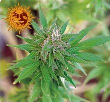 LITTLE CHEESE AUTO · graines de cannabis · AutoFem