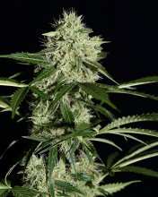 NORTHERN LIGHTS AUTO · graines de cannabis · Auto Fem