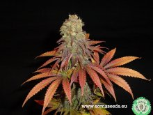 ROCK BUD · 10 graines de cannabis · Fem · SALE